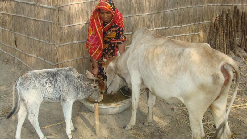 I Plan To Build A Cow Farm Islamic Relief Worldwide